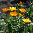 Calendula in the grass — Stock Photo