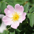 Blooming wild rose — Stock Photo