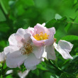 Stock Photo: Blooming wild rose