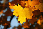 Yellow maple — Stock fotografie