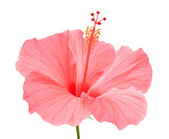 ピンクのハイビスカス — ストック写真
