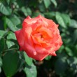 Orange rose — Stock Photo #35309863