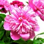 Pink peony — Stock Photo