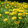 Yellow dandelions in the green grass — Stock Photo #35489793