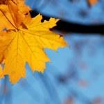 Maple leaf — Stock Photo #35489825