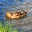 A wild duck swims in the river — Stock Photo
