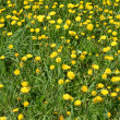 Yellow dandelions in the green grass — Stock Photo #35489901