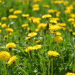 Yellow dandelions in the green grass — Stock Photo #35489905