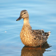 A covey of wild duck is in the river — Stock Photo