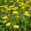 Yellow dandelions in the green grass — Stock Photo #35489969