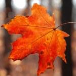 Maple leaf — Stock Photo #35489987
