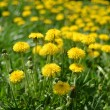 Yellow dandelions in the green grass — Stock Photo