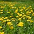 Yellow dandelions in the green grass — Stock Photo #35490053