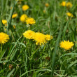Yellow dandelions in the green grass — Stock Photo #35490121