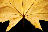 Yellow maple leaf — Stock Photo