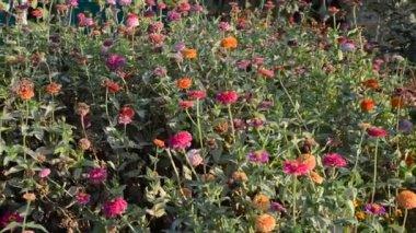 Mooie bloemen in de tuin — Stockvideo
