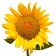 Sunflower — Stock Photo #37696259