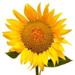 Sunflower — Stock Photo #37696259