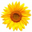 Sunflower — Stock Photo #38077819