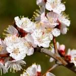 Flowering — Stock Photo #38714053