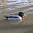 A wild duck — Stock Photo