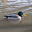 Stock Photo: A wild duck