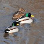 A wild duck — Stock Photo