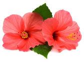 Two pink hibiscus — Foto de Stock