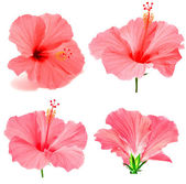 Pink hibiscus collection — Stock Photo