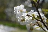Flowering branch apricots — Stock Photo
