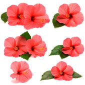 Collection hibiscus — Stock Photo