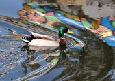 A wild duck swims — Stock Photo