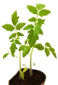 Tomato plant in a peat pot  — Stock Photo