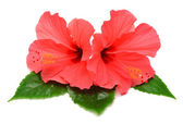 Postcard from hibiscus flowers  — Stock Photo