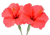 Two hibiscus — Stock Photo