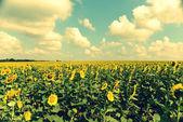 Mooie zonnebloemen — Stockfoto