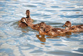 Pato con patitos — Foto de Stock