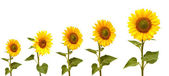 Growth stage of sunflower  — Stock Photo