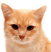 Bellissimo gatto zenzero — Foto Stock
