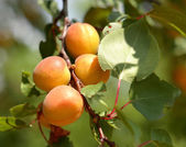 Ripe apricots  — Stock Photo