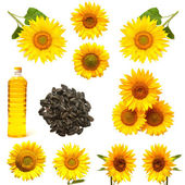 Sunflower collection — Stock Photo