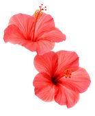 Due fiori di ibisco rosa — Foto Stock