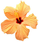 Hibiscus giallo — Foto Stock