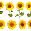 Sunflowers collection — Stock Photo #51594067