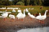 Domestic geese Flock — Stock Photo