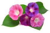 Purple Morning Glory flowers — Stock Photo