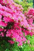 Arbusto floreciente rododendro con flores rosadas — Foto de Stock