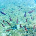Small fish shoal in azure lake — Stock Photo