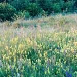 Summer sunset wildflowers — Stock Photo #19429199