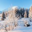 Winter fir in first morning sunbeams — Stock Photo